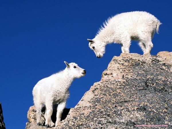 Mountain-Goat-Kids-wallpaper