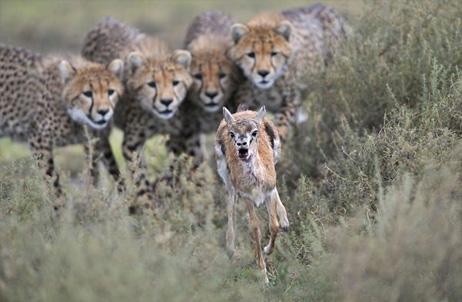 veolia-environnement-best-wildlife-pictures-2012-cheetahs_60437_big