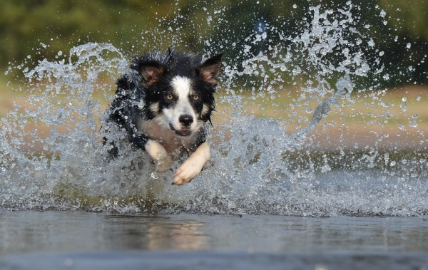 border-collie-667488_960_720