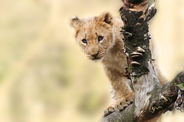lion-565820_960_720